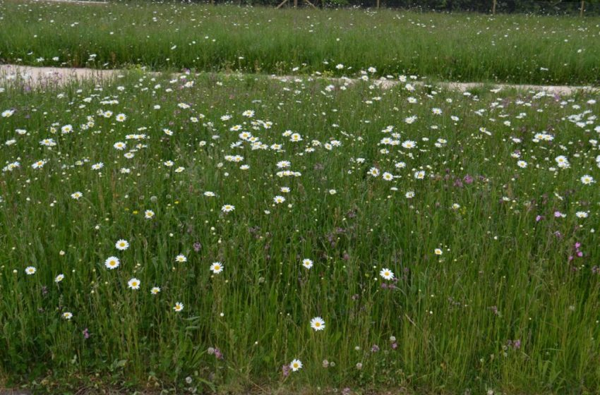 SYNRenew: A Natural Alternative to Grass