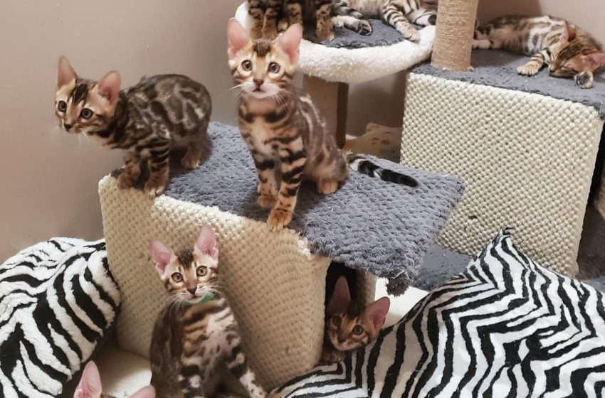Planning to buy a Bengal kitten? Here's how you can avoid scams