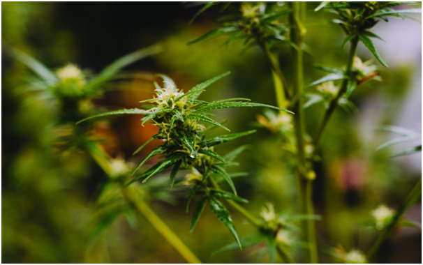 10 Interesting Facts About Cannabis Seeds